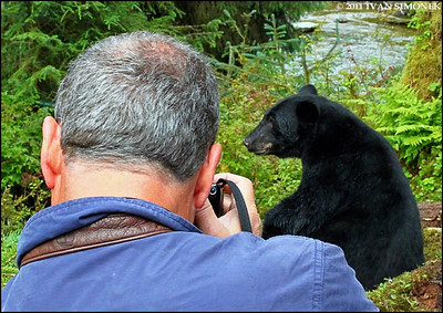 """LIVING DANGEROUSLY"",a Black bear,Anan Creek,Alaska,USA."