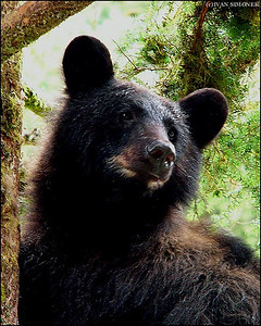 """JUST LOOKING"",a Black bear,Anan Creek,Alaska,USA."
