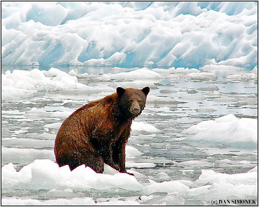 """MAROONED"",  a cinnamon black bear warming up on an iceberg, LeConte Bay, Alaska, USA."