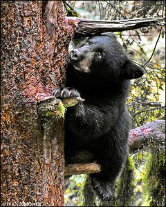 """A DIFFICULT CLIMB"",a black bear cub,Anan creek,Alaska,USA."