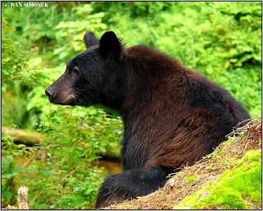 """JUST RESTING"", a black bear, Anan creek, Alaska, USA."