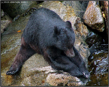 """STRETCHING  EXERCISES"",a black bear at Anan creek, Alaska, USA-----""ROZCVICKA""."