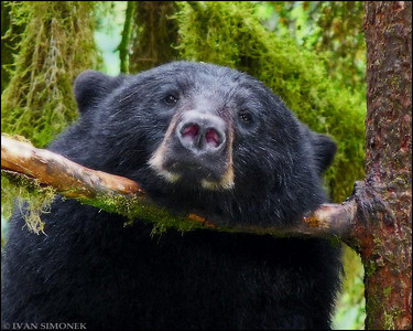"""CHIN SUPPORT"",a black bear,Anan Creek,Alaska,USA."