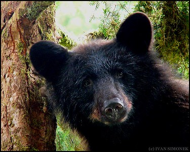 """IN MY FACE"",a Black bear,Anan Creek,Alaska,USA."