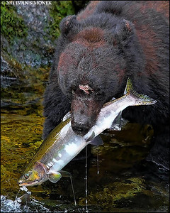 """FULL MOUTH"",a Black bear with salmon,Anan creek,Alaska,USA."