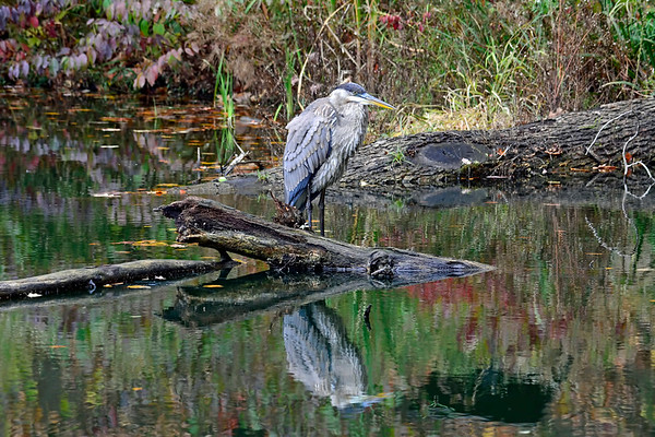 BLUE HERON TUESDAY 10-31-17