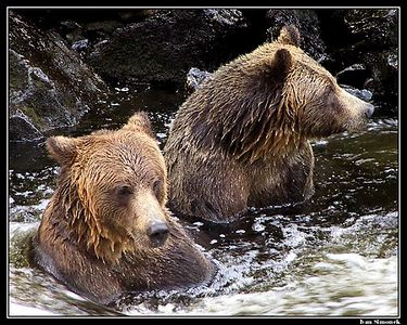 """BORING....."".Two brown bears killing time and salmon at Anan Creek, Alaska.   ""NUDA....."". Dva hnedi medvedi  zabiji cas a lososy v potoku Anan, Aljaska."