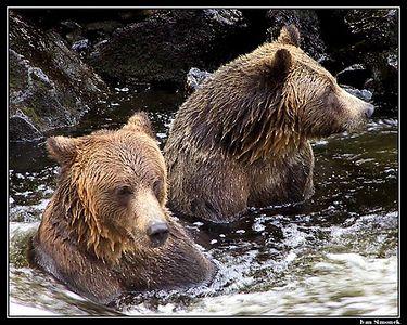 """""""BORING....."""".Two brown bears killing time and salmon at Anan Creek, Alaska.   """"NUDA....."""". Dva hnedi medvedi  zabiji cas a lososy v potoku Anan, Aljaska."""
