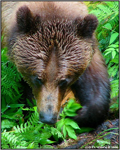 """TOO CLOSE"", a brown bear, Anan creek, Alaska, USA-----""PRILIS BLIZKO"", hnedy medved, Anan creek, Aljaska, USA."