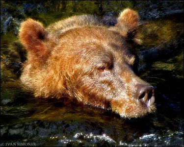 """WATER IS MY PLEASURE"",a brown bear,Anan creek,Alaska,USA."