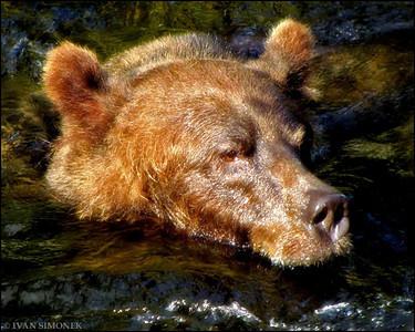 """WATER IS MY PLEASURE"",a brown bear,Anan creek,Alaska,USA."