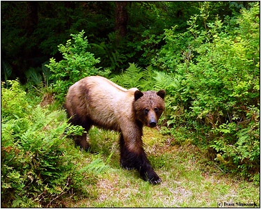 """I RULE HERE"", a brown bear, Anan creek, Alaska, USA.-----""ZDE VLADNU JA"", hnedy medved, Anan creek, Aljaska, USA."