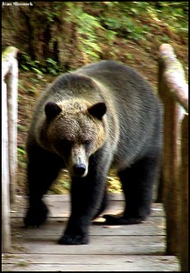"""A BROWN BEAR ATTACK"", Anan trail, Alaska, USA.-----""HNEDY MEDVED UTOCI"", stezka Anan, Aljaska, USA."