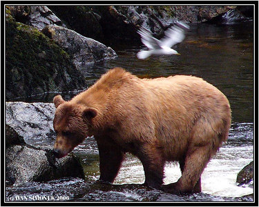 """WATCH THE BIRDIE"", a brown bear and a gull, Anan creek, Alaska, USA-----""POZOR VYLETI PTACEK"", hnedy medved a racek, potok Anan, Aljaska, USA."