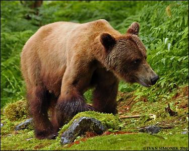 """THINKING ABOUT IT"",a Brown bear,Anan,Alaska,USA."