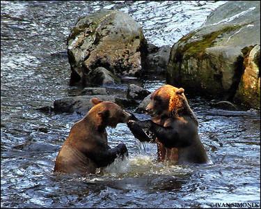 """""""CHALLENGE """",brown bears,Anan creek,Alaska,USA."""