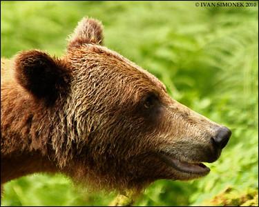 """""""AMUSED"""",a Brown bear,Anan,Alaska,USA."""