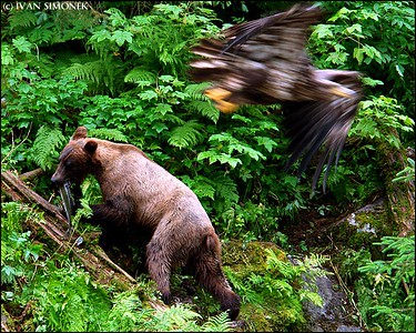 """DIFFERENT DIRECTIONS"",Brown bear,young Bald eagle,Anan Creek,Alaska,USA."