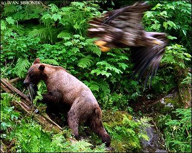 """""""DIFFERENT DIRECTIONS"""",Brown bear,young Bald eagle,Anan Creek,Alaska,USA."""