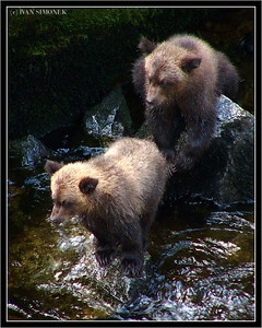 """HOW DO YOU FISH?"", brown bear cubs, Anan creek, Alaska, USA-----""JAK SE RYBARI?"""