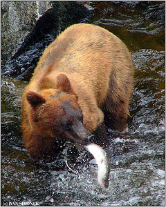 """HOPELESS  FIGHT"", pink salmon and a brown bear, Anan creek, Alaska, USA."