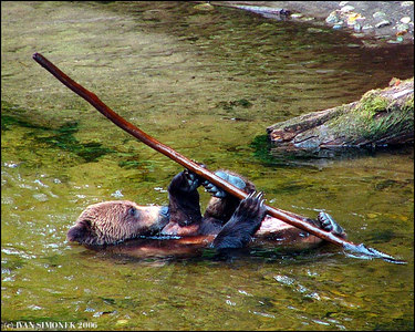 """POLE VAULT, BROWN BEAR STYLE"", Anan creek, Alaska, USA-----""SKOK O TYCI PLAVMO""."