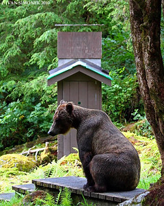"""WAITING 2"",a Brown bear,Anan,Alaska,USA."