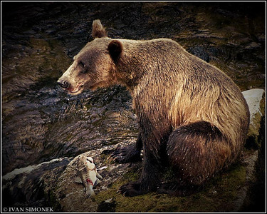 """I BRAKE FOR SALMON"",a brown bear,Anan Creek,Alaska,USA."