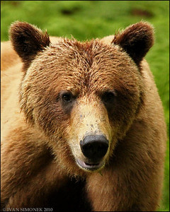 """A CLOSER LOOK"",a Brown bear,Anan,Alaska,USA."