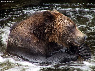 """THE THINKER', a brown bear, Anan Creek, Alaska,USA.-----""MYSLITEL"", hnedy medved, potok Anan, Aljaska,USA."