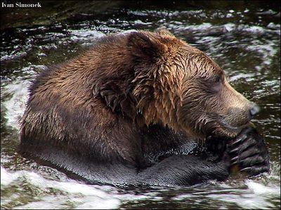 """""""THE THINKER', a brown bear, Anan Creek, Alaska,USA.-----""""MYSLITEL"""", hnedy medved, potok Anan, Aljaska,USA."""