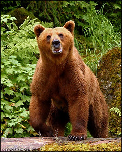 """WHAT`S GOING ON?"",a Brown bear,Anan ,Alaska,USA."