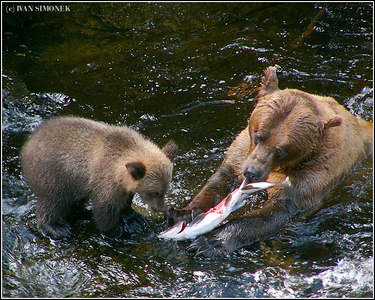 """TO BITE OR NOT TO BITE"", brown bears, Anan creek, Alaska, USA-----""KOUSNOUT CI NEKOUSNOUT""."