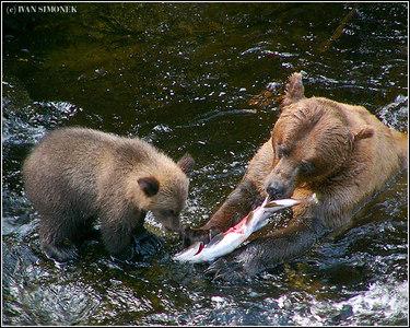 """TO BITE OR NOT TO BITE"", brown bears, Anan creek, Alaska, USA-----""KOUSNOUT CI NEKOUSNOUT""."