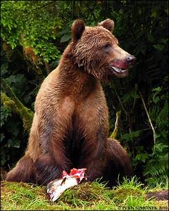 """""""DISTURBED"""",a Brown bear eating salmon,Anan,Alaska,USA."""