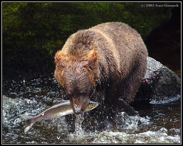 """THE END OF A  JOURNEY 1"", a brown bear and a pink salmon, Anan creek, Alaska, USA.-----""KONEC PUTOVANI"", hnedy medved and ruzovy losos, Anan creek, Aljaska, USA."