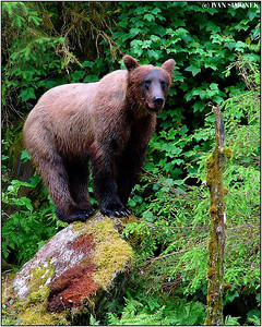 """LET`S  SEE..."", a brown bear, Anan creek, Alaska, USA."
