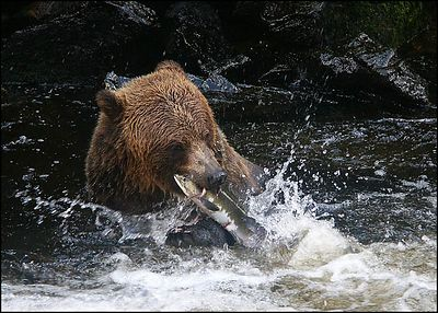 """NO HOPE..."", Anan creek, Alaska,USA.-----""BEZNADEJNA SITUACE..."", Anan creek, Aljaska,USA."