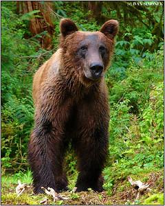 """""""KING OF THE RAINFOREST"""", Anan, Alaska, USA."""