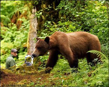 """ALMOST"",a Brown bear,Anan trail,Alaska,USA."