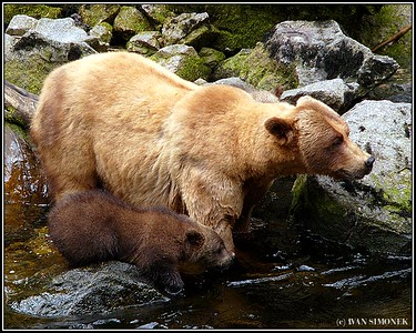 """WAITING"", a brown bear sow with a cub, Anan creek, Alaska, USA."