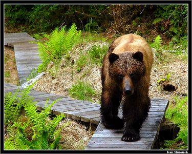 """""""COMING THRU"""" a brown bear by Anan Bear Observatory, Alaska, USA.-----""""PROCHAZIM"""", hnedy medved u pozorovatelny medvedu Anan, Aljaska, USA."""