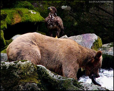 """PARTNERS"",a Brown bear and an young Bald eagle,Anan Creek,Alaska,USA."