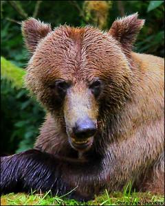 """""""GO AWAY OR ELSE..."""",a Brown bear,Anan,Alaska,USA."""