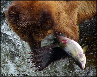 """THE GREAT ESCAPE"",a Brown bear and a Pink salmon,Anan Creek,Alaska,USA."