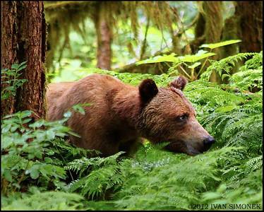BROWN/GRIZZLY BEARS (Ursus arctos horribilis)
