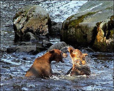"""GETTING DIZZY"",brown bears,Anan creek,Alaska,USA."