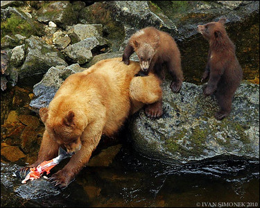 """WE WANT SOME"",Brown bears,Anan creek,Alaska,USA."
