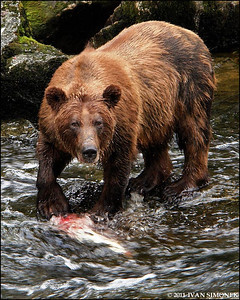 """WHAT YOU LOOKING AT?"",a Brown bear,Anan Creek,Alaska,USA."