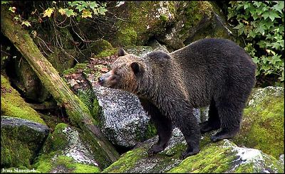 """WHAT IS THAT SMELL?"", a brown bear, Anan Creek, Alaska,USA.-----""CICHAM,CICHAM..."", hnedy medved, Anan Creek, Aljaska,USA."
